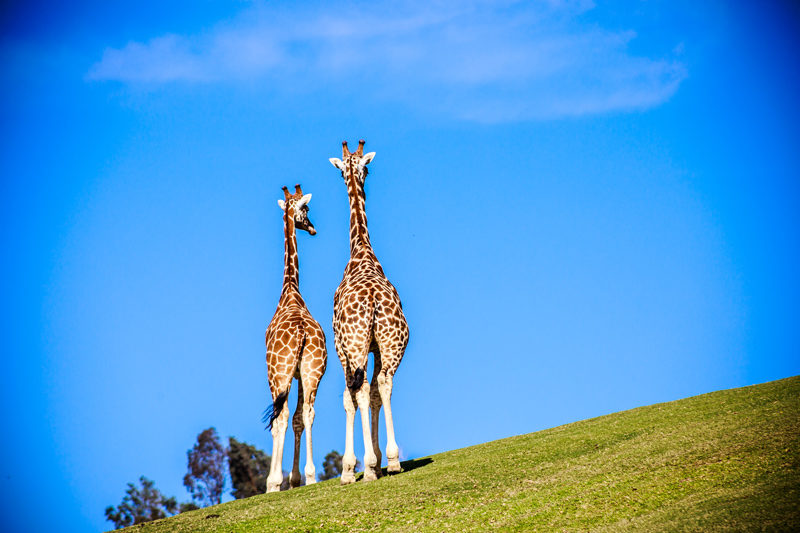 San Diego Zoo Safari Park | Virtual Tour Websites by popular D.C. travel blogger, Alicia Tenise: image of two giraffes standing next to each other on a grassy hill.