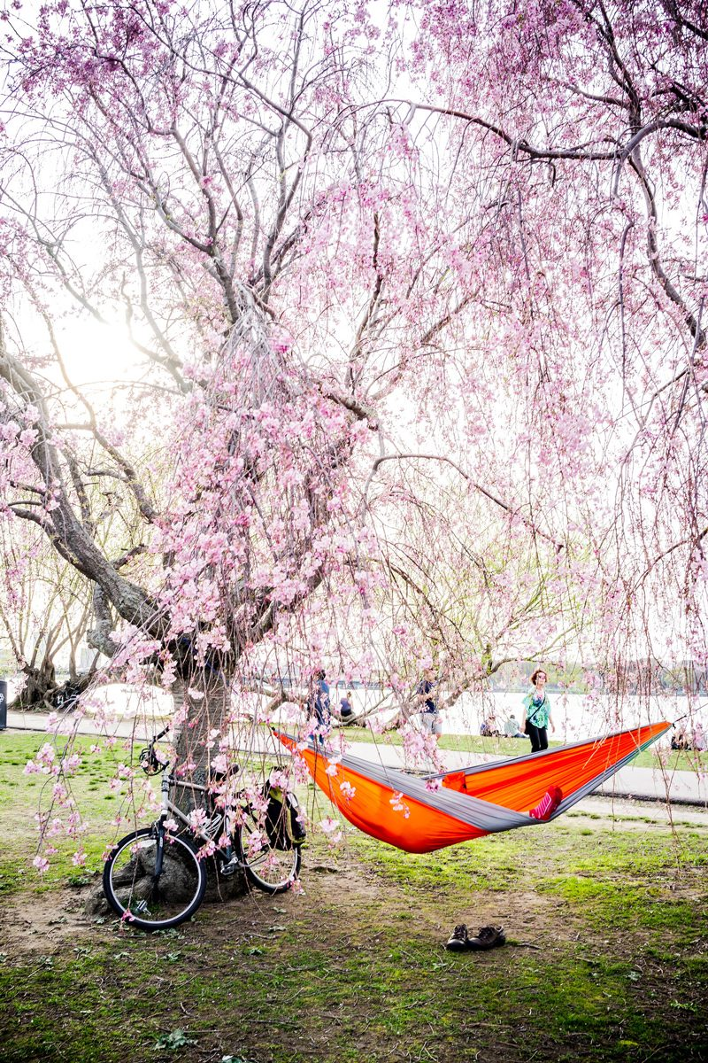 Charles River Esplanade Hammock Tree - Boston Travel Guide: Things to Do & Where to Eat by popular DC travel blogger, Alicia Tenise