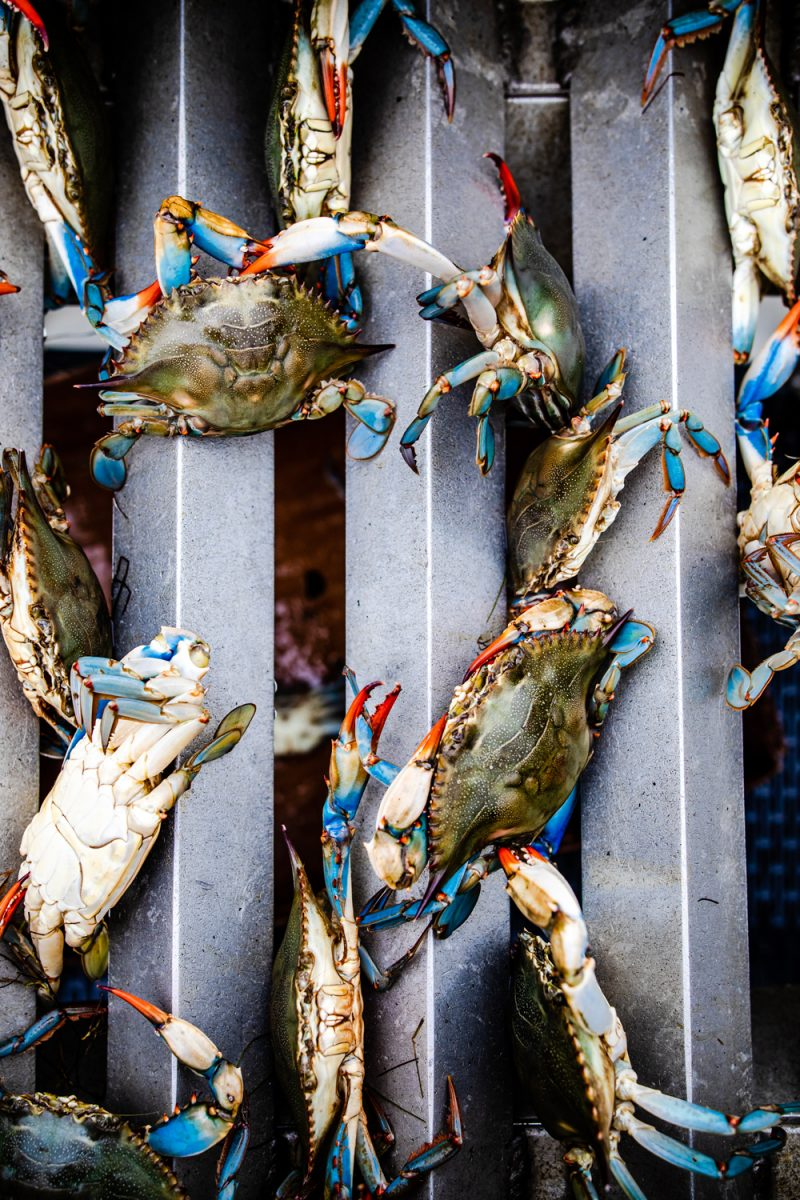 BX Crabbing Charter adventure with Captain Marc Mitchum | Things to do in the Outer Banks by popular D.C. travel blogger, Alicia Tenise: image of blue, white, and red crabs.