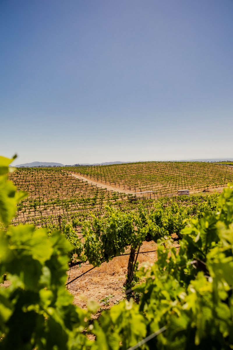 3 Wineries to Visit in the Northern San Diego Area for the Red Wine Lover featured by top LA travel blogger, Alicia Tenise: Palumbo Family Vineyard | San Diego Wineries by popular LA lifestyle blogger, Alicia Tenise: image of a vineyard.